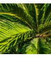 Cykas Zamia floridana - Keják celolistý - semínka - 2 ks