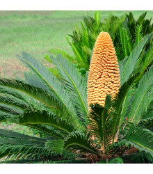 Cykas japonský - semena cykasu - 2 ks - rostlina Cycas revoluta