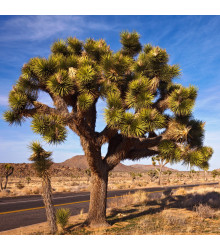 Joshua tree - Juka krátkolistá - Yucca brevifolia - semena Joshua - 6 ks