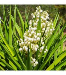 Juka - Yucca Rupicola - semena - 5 ks