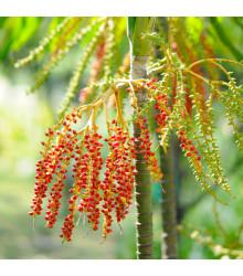 Palma - Ptychosperma macarthurii - semena - 3 ks