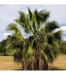 Palma Washingtonie vláknitá - Washingtonia filifiera - semena - 3 ks