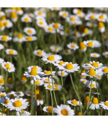 More about Rmen rolní - Anthemis arvensis - semena - 0,5 g