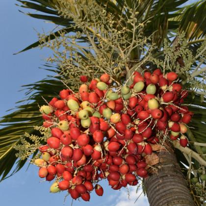 Palma Carpentaria acuminata - semena - 4 ks