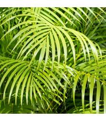 Palma madagaskarská - Dypsis madagascariensis - semena - 3 ks