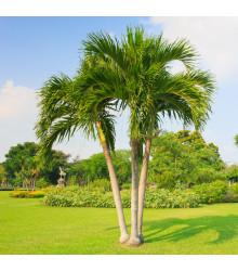 Palma zkroucená - Dypsis prestoniana - semena - 3 ks