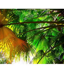 Palma čínská - rostlina Livistona Chinensis - semena palem - 3 ks