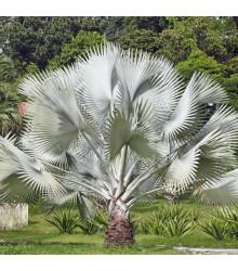 Palma stříbrná - Nannorrhops arabica - semena - 3 ks
