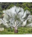 Palma stříbrná - Nannorrhops arabica - semena palmy - 3 ks