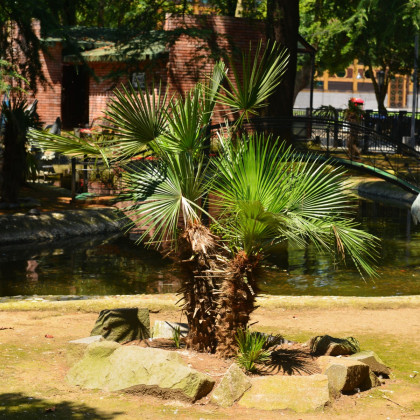 Palma trpaslíčí - Sabal minor - semena - 3 ks