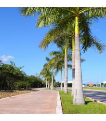 Palma královská kubánská - Roystonea regia - semena - 3 ks