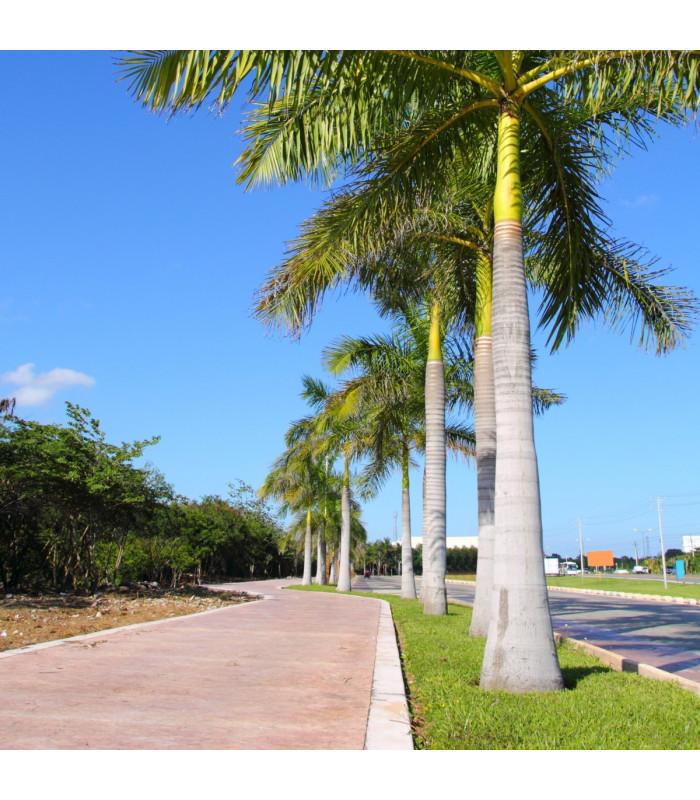 Palma královská kubánská - Roystonea regia - semena palem - 3 ks