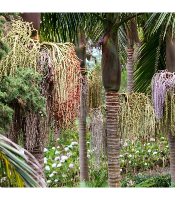 Palma královská - Archontophoenix cunninghamiana - semena palmy - 3 ks