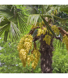 Palma konopná - Trachycarpus fortunei - semena - 2 ks