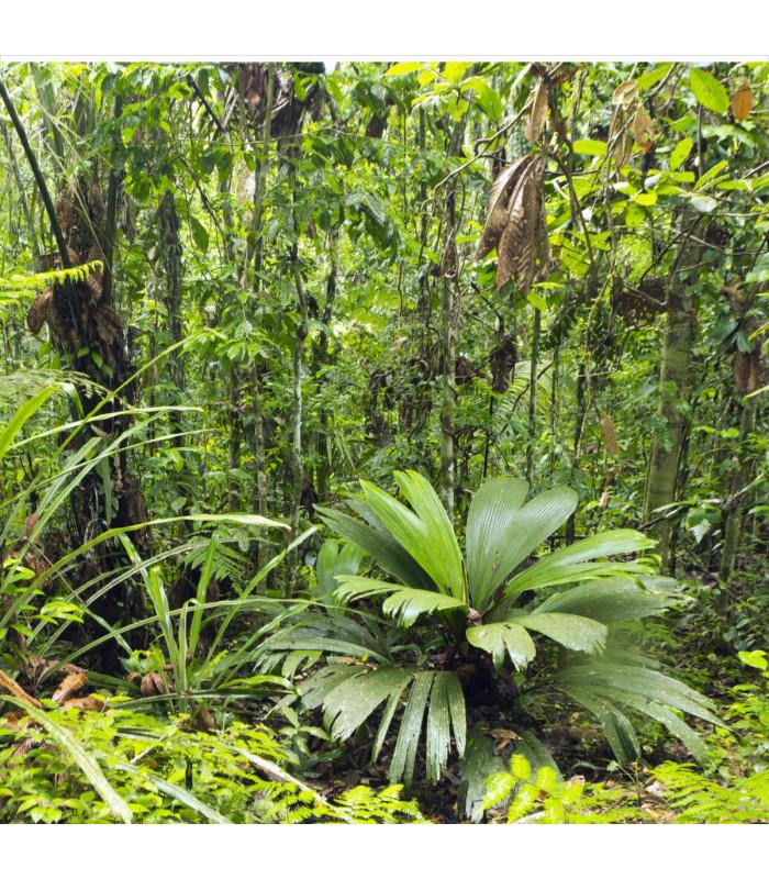 Palma mexická - Geonomma Interrupta - semena - 5 ks