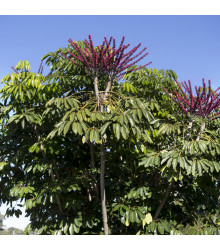 Šeflera actinophylla - Schefflera actinophylla - semena - 6 ks