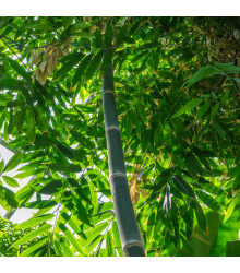 Bambus železný - Dendrocalamus Strictus - semena - 2 ks