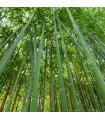 Bambus nejvyšší - Dendrocalamus giganteus - semena - 2 ks