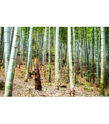 More about Indický Bambus - Bambus Balcooa - semena - 2 ks