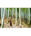 Indický Bambus - Bambus Balcooa - semena - 2 ks