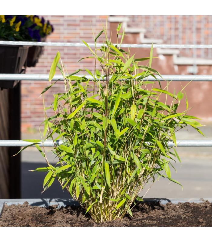Bambus horský - Fargesia fungosa - semena - 3 ks