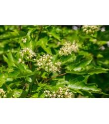 Javor tatarský - Acer tataricum - semen - 5 ks