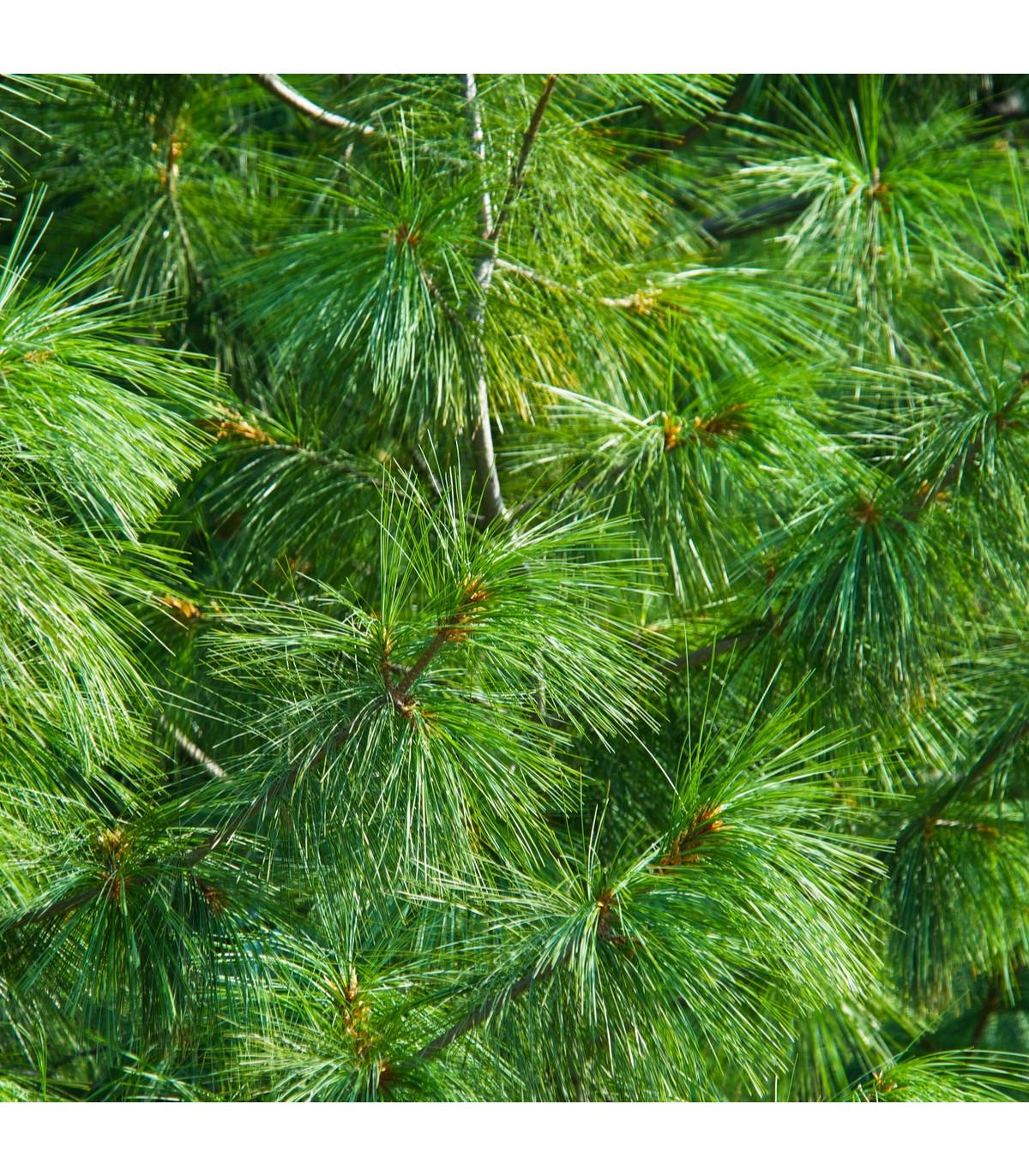 Borovice Roxburghova - Pinus roxburhii - semena - 5 ks