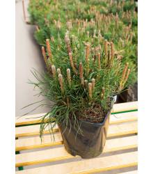 Borovice kleč - Pinus mugo mughus - semena - 5 ks
