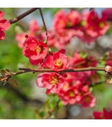 Kdoulovec - Chaenomeles Japonica - semena - 5 ks