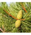 Borovice černá - Pinus nigra - semena - 4 ks