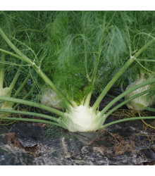 BIO fenykl bulvový Finale - Foeniculum ssp. - bio semena - 50 ks