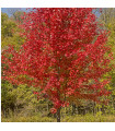 Javor červený - Acer rubrum - semena - 5 ks