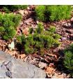 Borovice kleč - Pinus mugo pumilio - semena - 5 ks