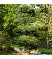 Borovice japonská černá - Pinus thunbergii - semena - 5 ks