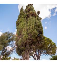 Cypřiš portugalský - Cupressus lusitanica - semena - 7 ks