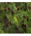 Modřín sibiřský - Larix sibirica - semena - 10 ks