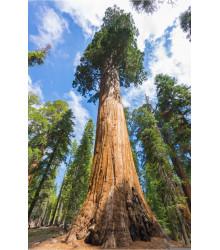 Sekvojovec obrovský - Sequoiadendron giganteum - semena sekvojovce - 5 ks