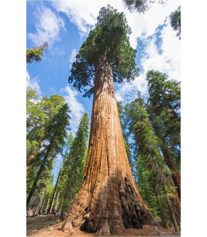Sekvojovec obrovský - Sequoiadendron giganteum - semena - 5 ks
