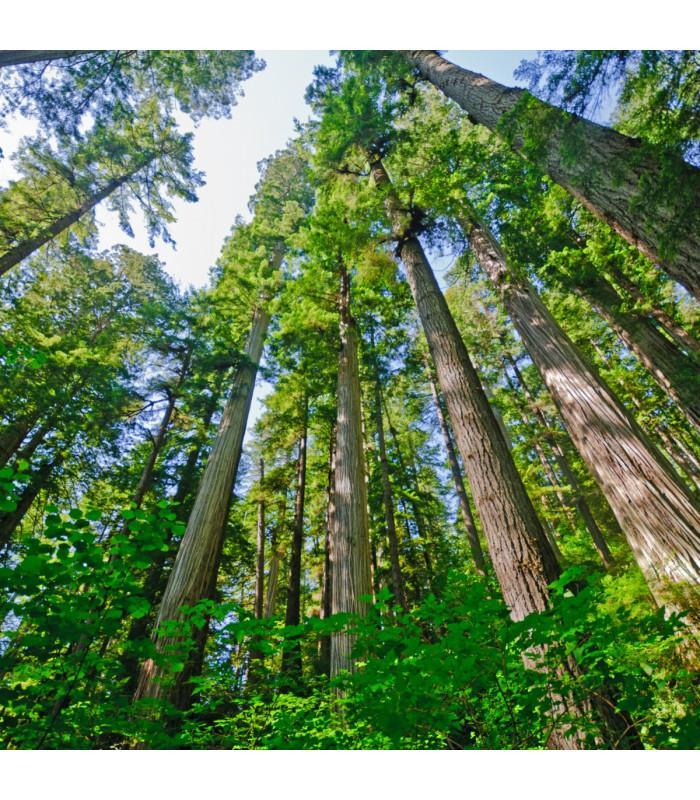 Sekvoj vždyzelená - Sequoia sempervirens - semena - 3 ks