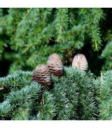 Cedr Himalájský - Cedrus deodara - semena cedru - 10 ks