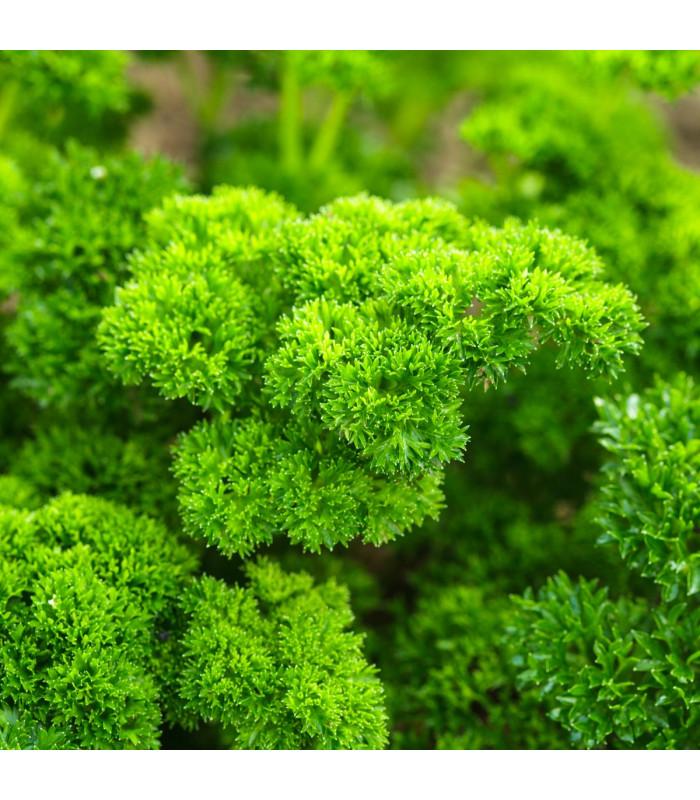 BIO Petržel Grüne Perle - semena BIO petržele - 1 g