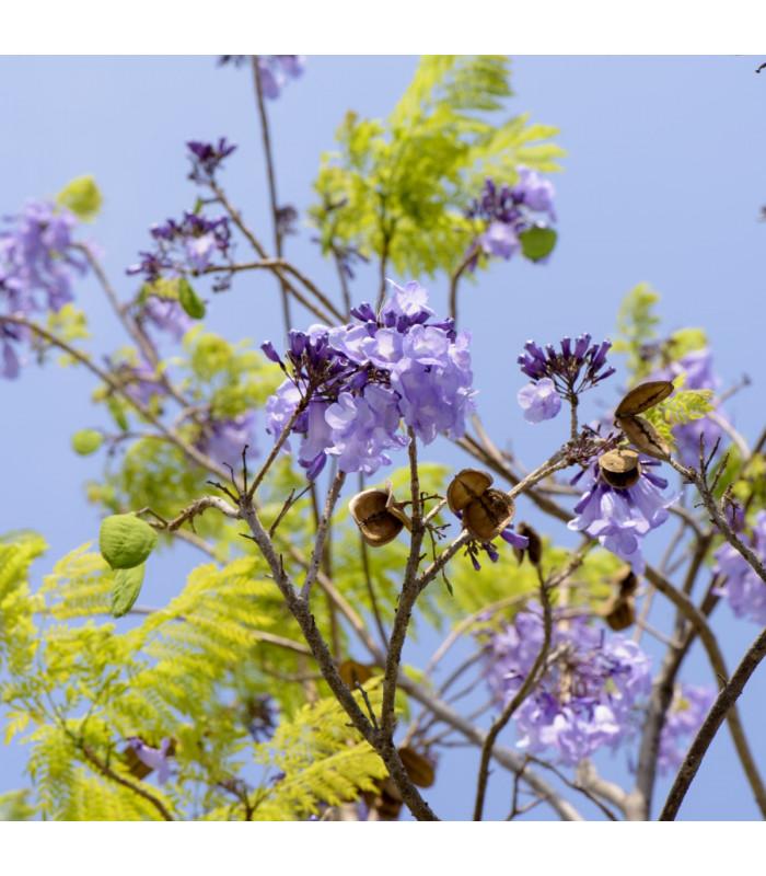 Dalbergie černá - Dalbergia nigra - semena - 5 ks