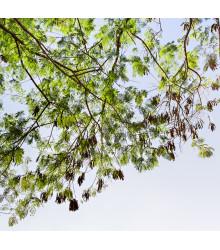 More about Akácie - Acacia mangium - semena - 8 ks