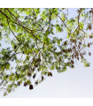 Akácie - Acacia mangium - semena - 8 ks