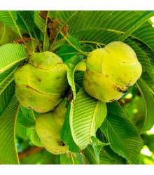 Dilenie indická - Dillenia indica - semena - 6 ks