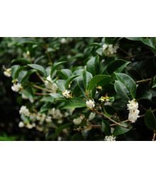 More about Olivovník libovonný - Osmanthus fragrans - semena - 5 ks