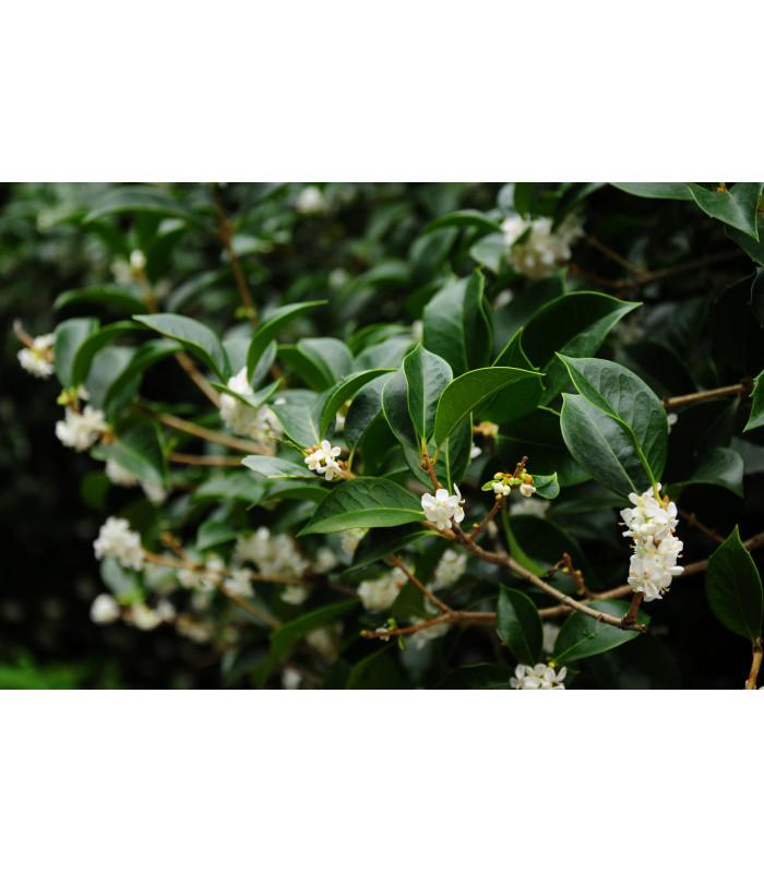 Olivovník libovonný - Osmanthus fragrans - semena - 5 ks