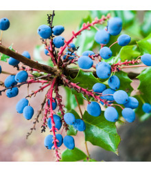 Mahónie cesmínolistá - Mahonia aquifolium - semena - 5 ks