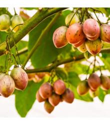More about Rajčatový strom - Cyphomandra betacea - semena - 5 ks