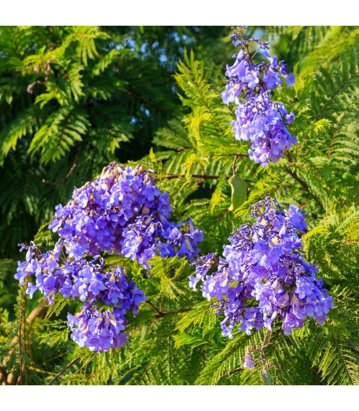 Žakaranda mimózolistá - Jacaranda mimosifolia - semena - 6 ks